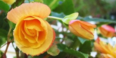 Blooming Orange Rose
